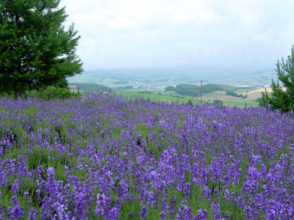 千望峠のラベンダー畑