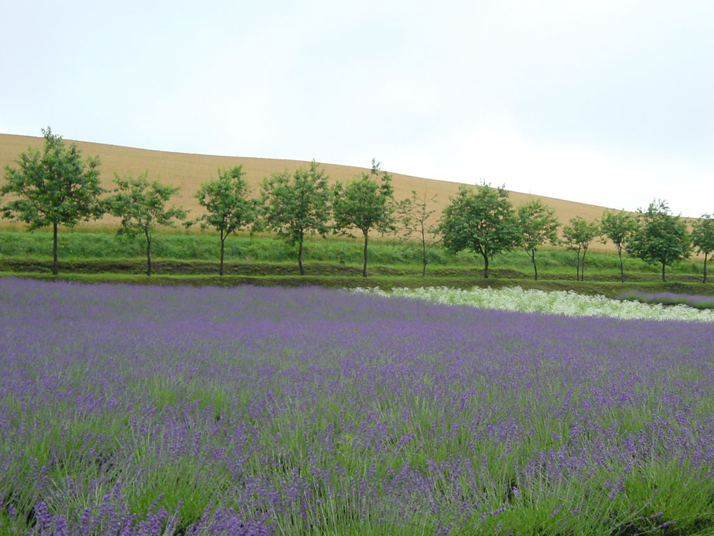 拓真館のラベンダー畑