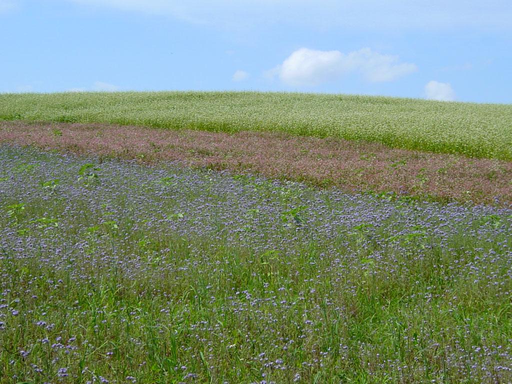三色のそば畑