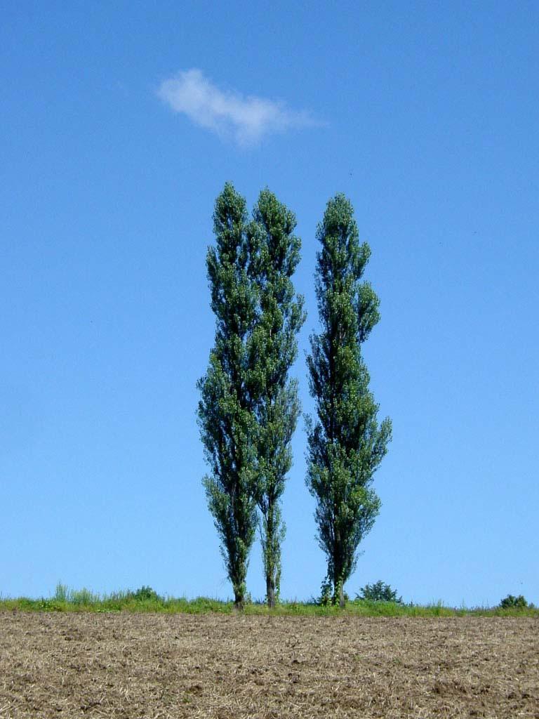 ポプラの木