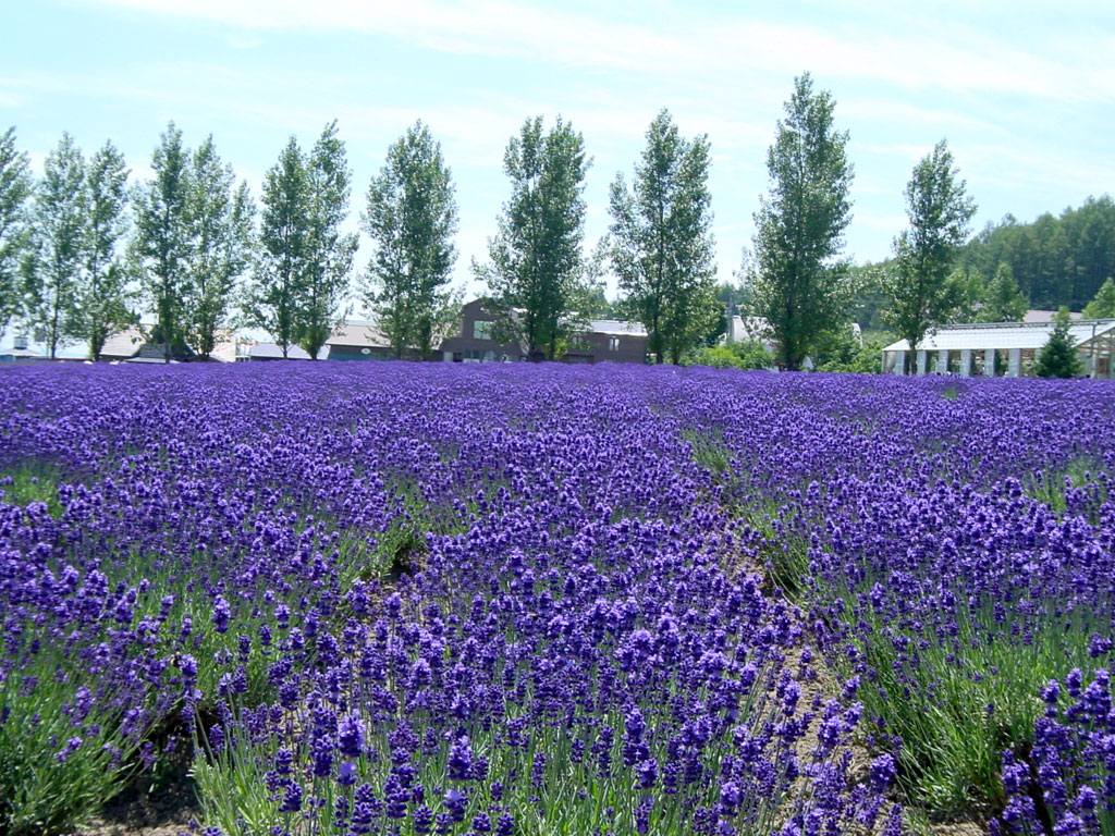 ファーム富田のラベンダー畑