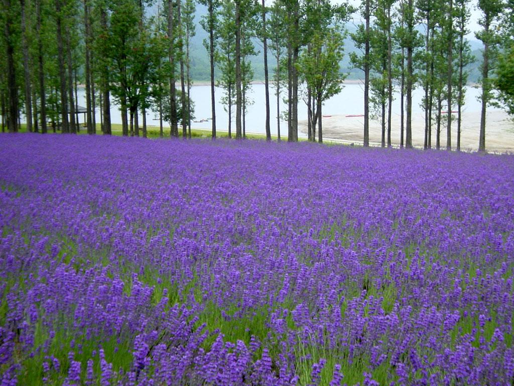 かなやま湖畔鹿越園地ラベンダー畑
