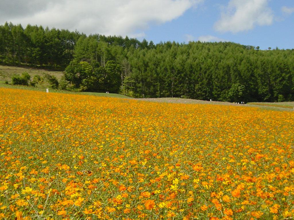 太陽の丘えんがる公園の黄花コスモス