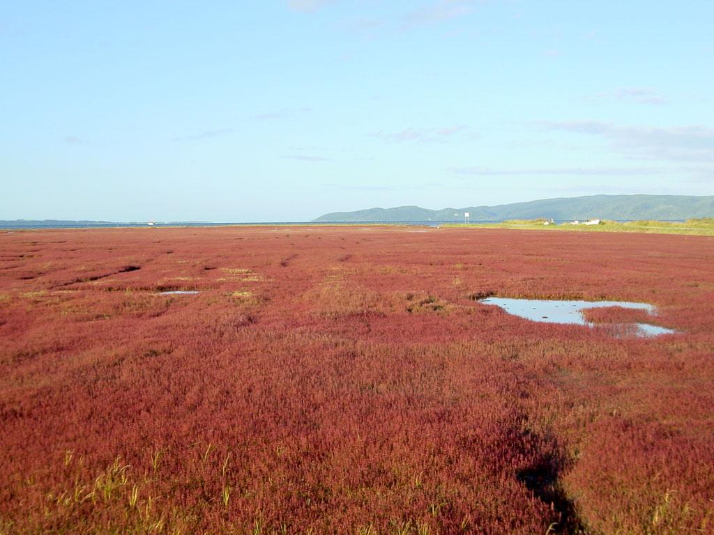 能取岬のサンゴ草