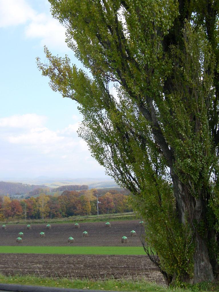 豆ニオとポプラの木