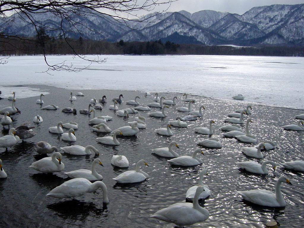 白鳥(屈斜路湖)