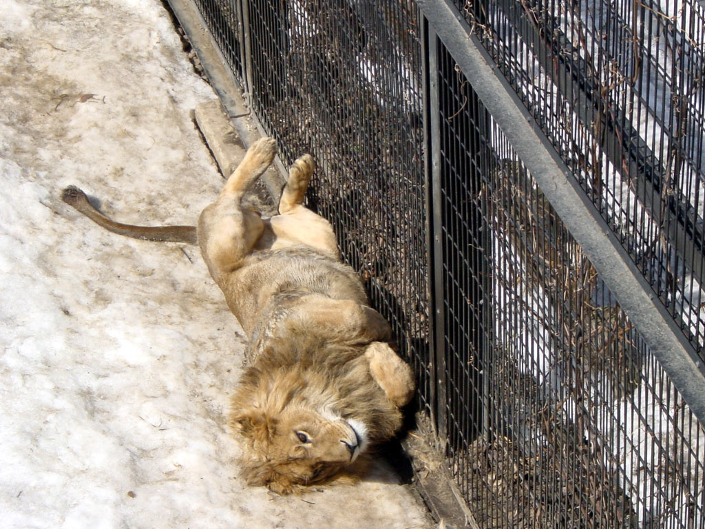 ライオン(旭山動物園)