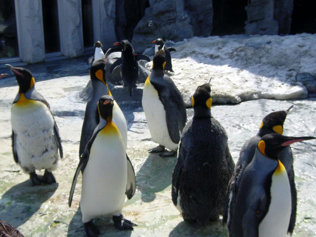 キングペンギン(旭山動物園)