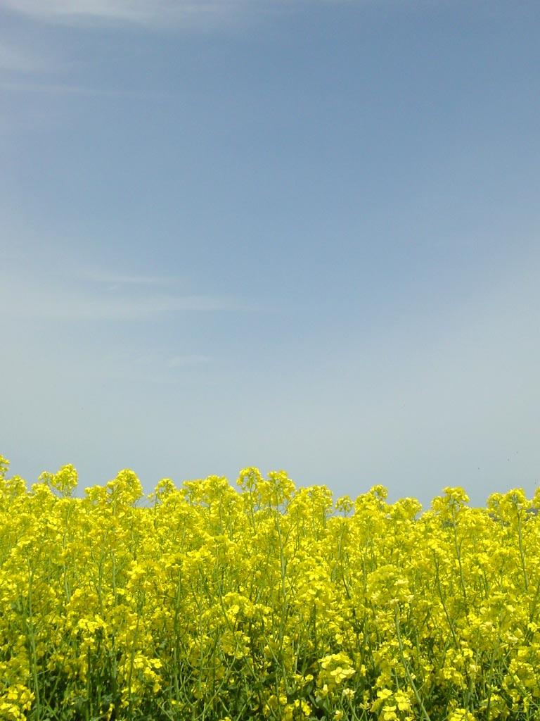 滝川・江部乙の菜の花畑