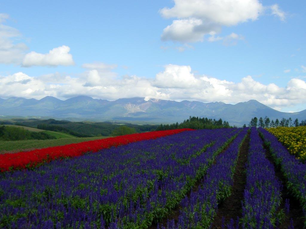 四季彩の丘のブルーサルビア