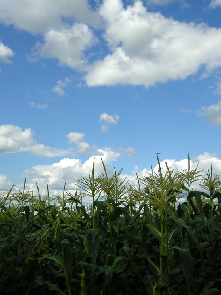 トウキビ畑