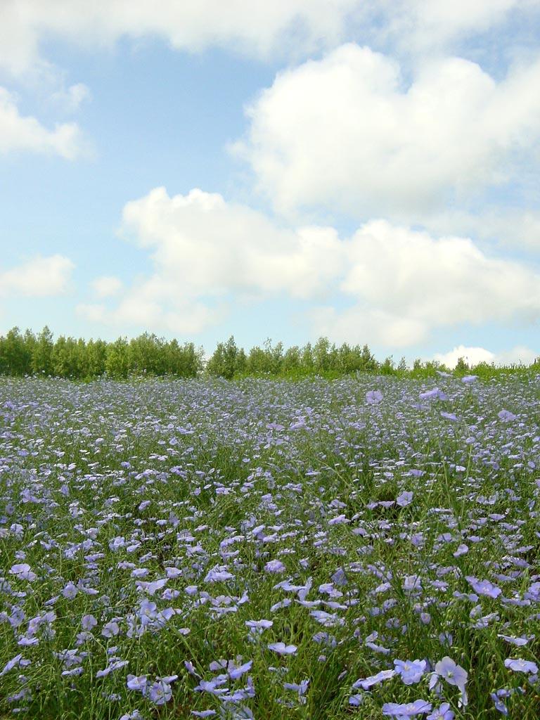 四季彩の丘のブルーエンジェル