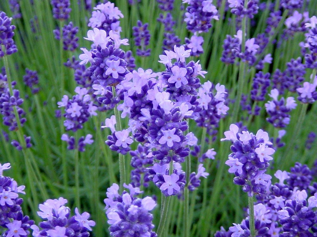 ラベンダー 濃紫早咲