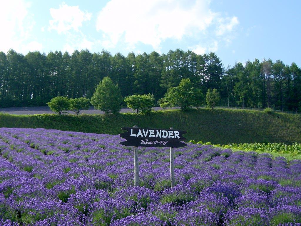 ふらのワイン工場のラベンダー畑