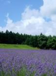 ハイランドふらののラベンダー畑