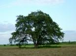 豊頃町 ハルニレの木
