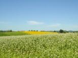 そば畑とひまわり畑