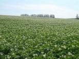 ジャガイモ畑とマイルドセブンの丘