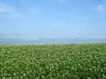 ジャガイモ畑と十勝岳連峰
