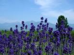 ラベンダー濃紫早咲と十勝岳連峰