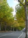 旭川・神楽岡のプラタナス並木