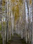 拓真館の白樺並木