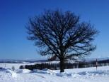 セブンスターの木 冬