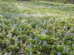 エゾエンゴサクの群生(北邦野草園)
