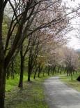 神居古潭の桜