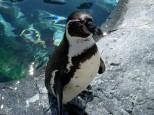 フンボルトペンギン(旭山動物園)