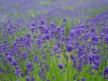 ラベンダー濃紫早咲