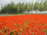 四季彩の丘のサルビア