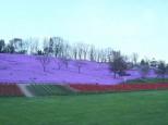遠軽太陽の丘の芝桜